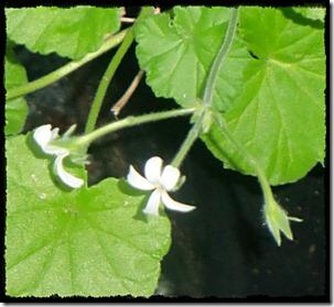 odoratissimum blomst