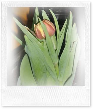 tulipan nærbilde