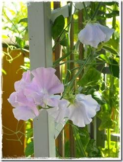 lilla erteblomst