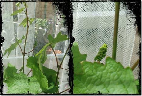 drueplante