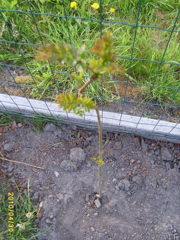 Grimpante glycine bignone au jardin forum de jardinage - Graine de glycine ...