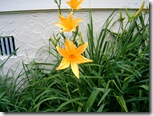Yellow_Day_Lily