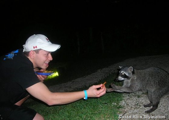 Costa Rica Raccoon