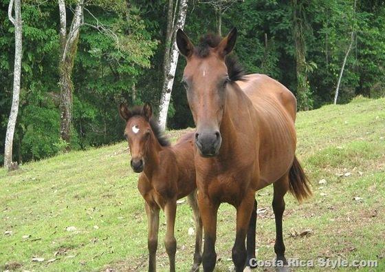 Costa Rican Horses