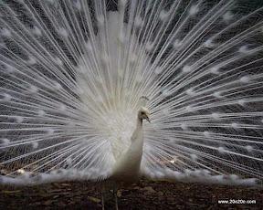 عکسهای زیبا از طاووس