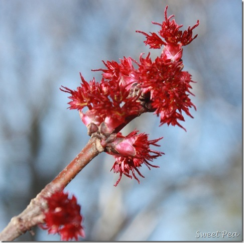 Red Maple5