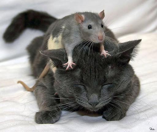 http://lh6.ggpht.com/__zJrt4ku8pI/SR6TLua9JeI/AAAAAAAAALA/nu4Cgis4t1s/cat_amp_mouse%5B6%5D.jpg