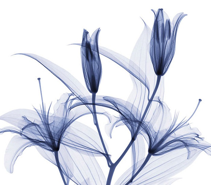 X Ray Flowers...***EXCLUSIVE*** UNSPECIFED - UNDATED: Stargazer lilies, X-ray. These mesmerising shots are the fruit of years of careful experimentation by artist Hugh Turvey, using x-rays to really get under the surface of things. The technique, which came about thanks to a chance commission from a musician friend who wanted an x-ray image, has been 14 years in the making and has now been so well honed by Hugh that his work is becoming highly sought after. The flowers are the latest in a long line of subjects, including motorbikes, suitcases and stiletto-clad feet. PHOTOGRAPH BY SPL / BARCROFT MEDIA LTD UK Office, London. T +44 845 370 2233 W www.barcroftmedia.com USA Office, New York City. T +1 212 564 8159 W www.barcroftusa.com Indian Office, Delhi. T +91 114 653 2118 W www.barcroftindia.com Australasian & Pacific Rim Office, Melbourne. E info@barcroftpacific.com T +613 9510 3188 or +613 9510 0688 W www.barcroftpacific.com