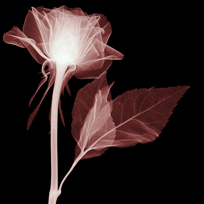 X Ray Flowers...***EXCLUSIVE*** UNSPECIFED - UNDATED: Rose, X-ray. These mesmerising shots are the fruit of years of careful experimentation by artist Hugh Turvey, using x-rays to really get under the surface of things. The technique, which came about thanks to a chance commission from a musician friend who wanted an x-ray image, has been 14 years in the making and has now been so well honed by Hugh that his work is becoming highly sought after. The flowers are the latest in a long line of subjects, including motorbikes, suitcases and stiletto-clad feet. PHOTOGRAPH BY SPL / BARCROFT MEDIA LTD UK Office, London. T +44 845 370 2233 W www.barcroftmedia.com USA Office, New York City. T +1 212 564 8159 W www.barcroftusa.com Indian Office, Delhi. T +91 114 653 2118 W www.barcroftindia.com Australasian & Pacific Rim Office, Melbourne. E info@barcroftpacific.com T +613 9510 3188 or +613 9510 0688 W www.barcroftpacific.com