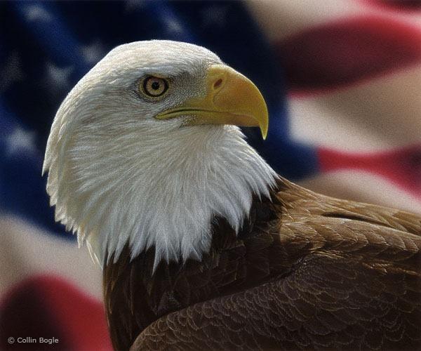americanbaldeagle