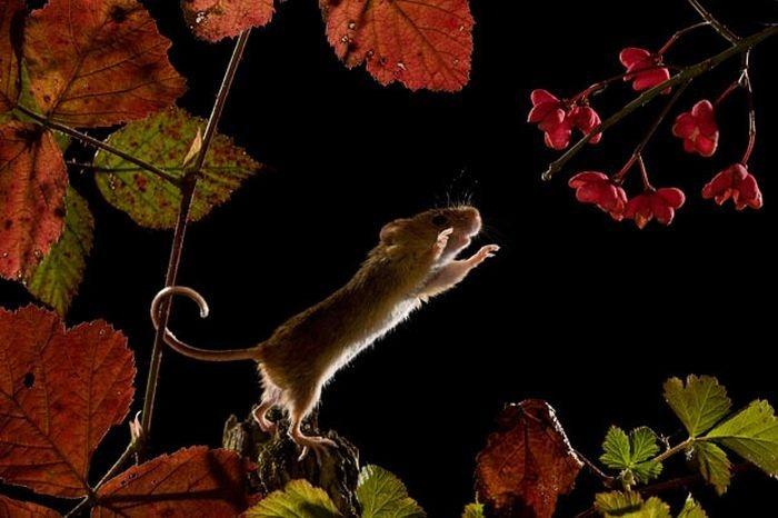 harvest-mice (14)