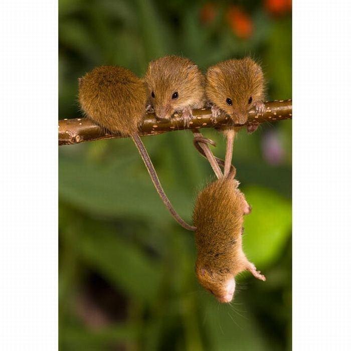 harvest-mice (8)