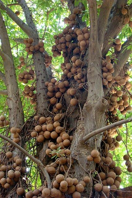 cannonball-tree (13)