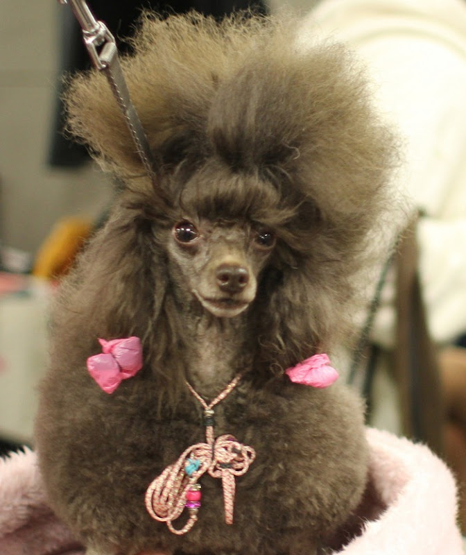 Miniature Poodle in pink