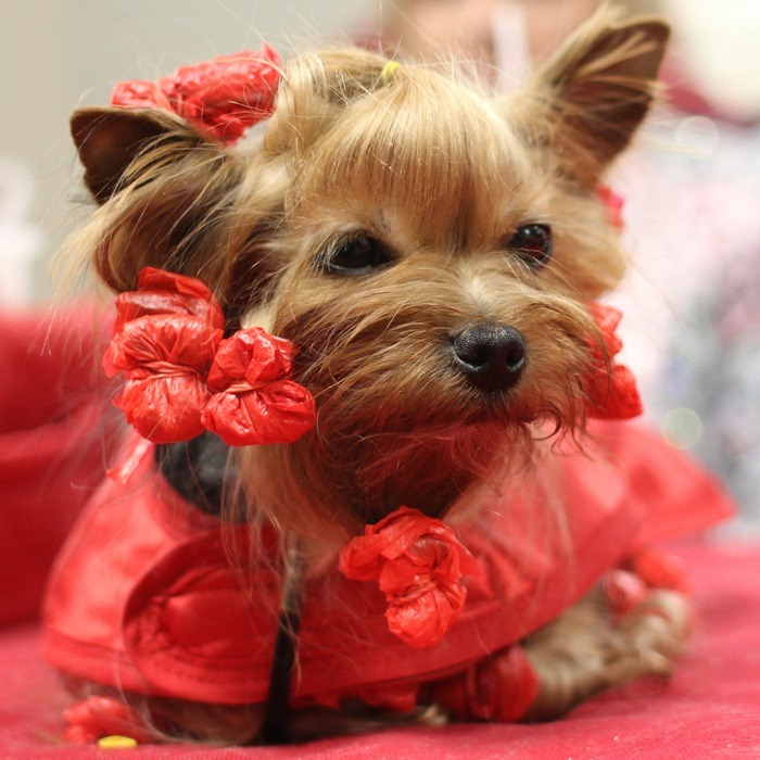 Yorkie all wrapped up for Valentine's Day