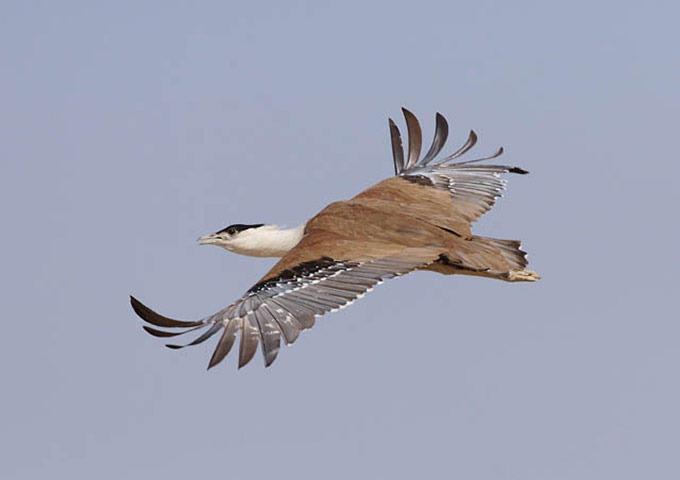 The-Worlds-Rarest-Birds-2-007