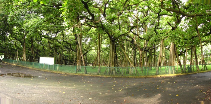 great-banyan-tree3