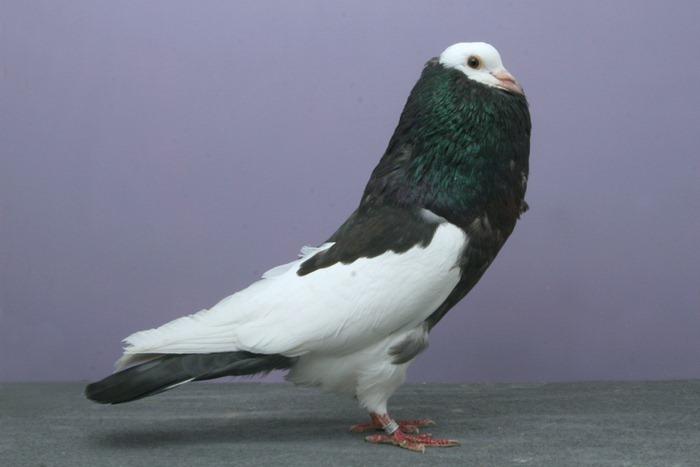 pigeons-champion3
