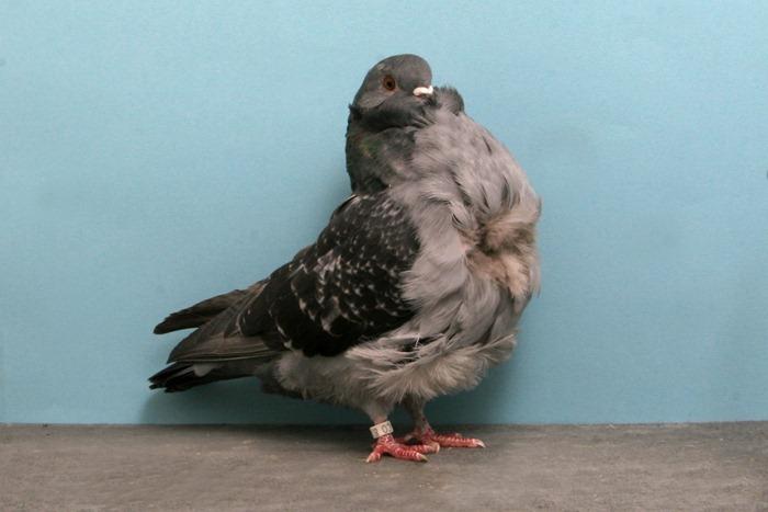 pigeons-champion7