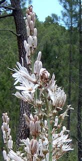 Gamon Comun, detalle de las flores
