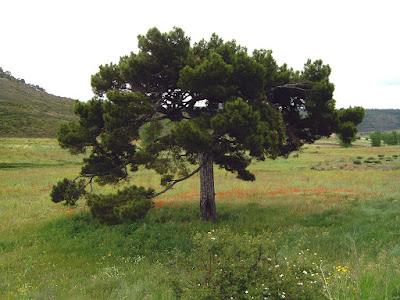 Ejemplar centenario de pino laricio