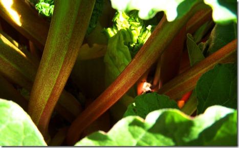Amy's rhubarb