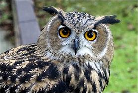 european_owl