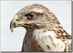 hawk-picture2