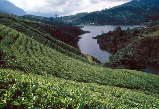 One of the vast tea plantations in Sri Lanka
