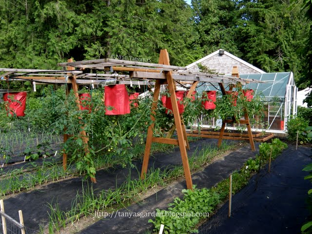 Hanging Tomatoes Get More Warmth Than Those In The Ground, There Are Very  Few Weeds And A Smaller Chance To Acquire Soil Borne ...