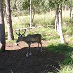 Rovaniemi Female reindeer.JPG