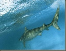 tiger-shark-underwater