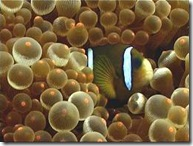 bb-clownfish3