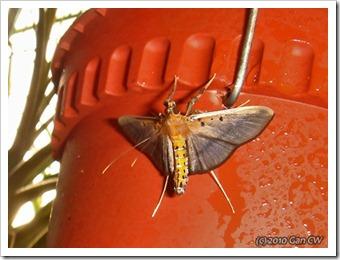 Filodes fulvidorsalis (Crambidae, Spilomelinae)-20100123_D6341-480