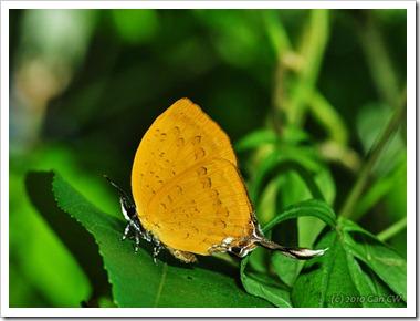 Yasoda pita dohertyi-MYFH_20100415_D6472-640