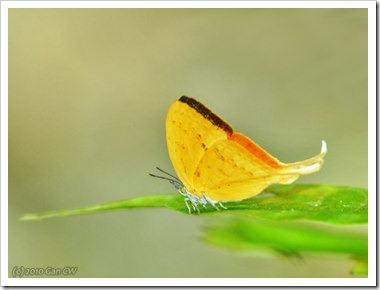 Loxura cassiopeia cassiopeia-MYFHRaub_20100416_D6810-360