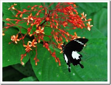 Papilio nephelus sunatus-MYFHRaub_20100416_D6822-640