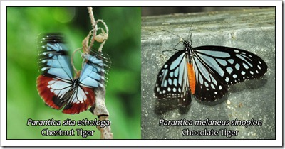 Parantica sita-melaneus-upper-800