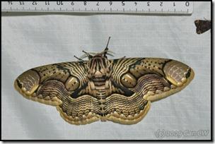 Brahmaea hearseyi-20090226-MYFH_0095-480