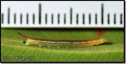 Cat2-Eupanacra elegantulus-200803-N6105