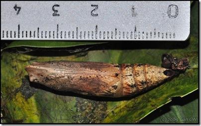 Pupa-Eupanacra elegantulus-20090109_2375-640