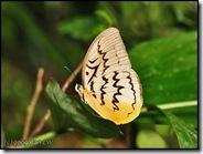 Melanocyma faunula faunula-MYGopeng_20090312_0291-480