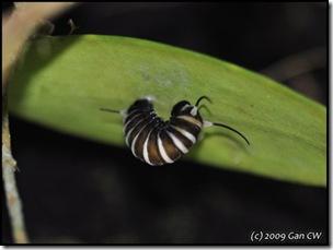 Ideopsis gaura-200811-MYPG_0168-480