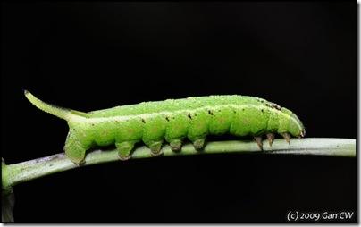 Neogurelca hyas-20090419_0085-640