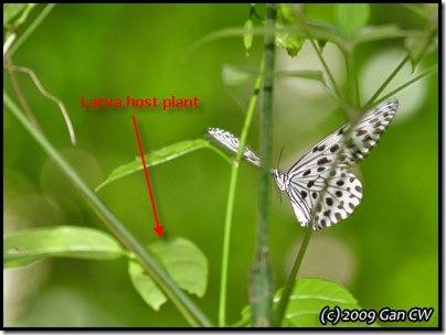Idea hypermnestra linteata-MYFHRaub_20090423_0153-400
