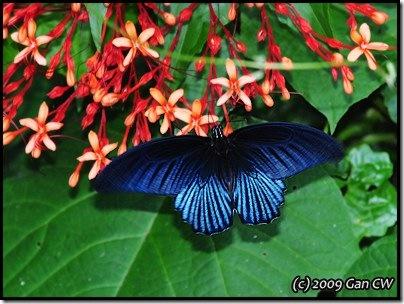 Papilio memnon agenor-MYFHRaub_20090423_1168-400