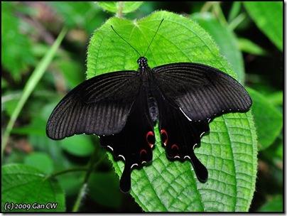 Papilio helenus helenus-MYFHKKB_20090422_0384-640