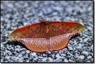 Fascellina clausaria-MYFH_20090424_1001-480