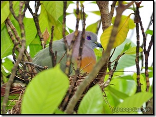 Pink-necked Green Pigeon-MYFH_20090421_0509-480