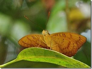 Euthalia kanda marana (m)-MYBunker_20090719_3822-480
